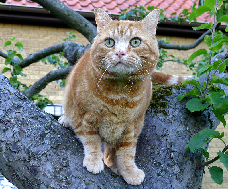 Katten Tiger